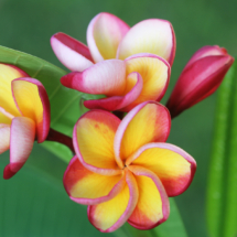 Frangipani designs made in Mauritius